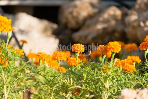 Multi-coloured marigold flowers