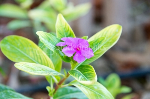 Madagascar Rosy Periwinkle flower in the summer