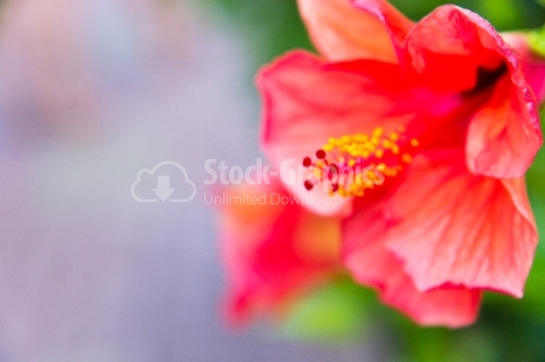 Hibiscus Flower-Head at Tropical Climate