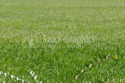 Real green grass background
