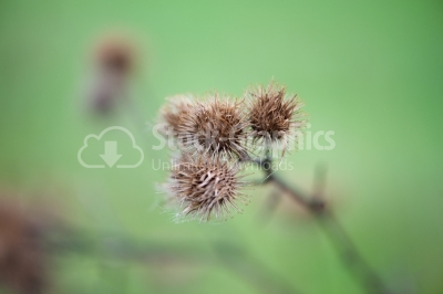 A dried up Thistle in the winter months.