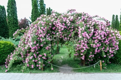 Arch of pink roses