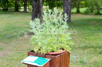 Artemisia Absinthium plant in the botanical garden