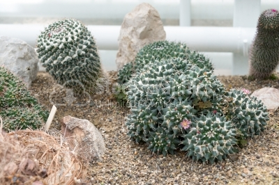Barrel Cactuses in a formal garden