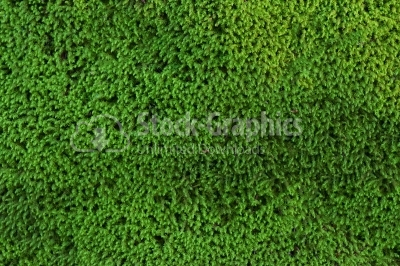 Beautiful green moss