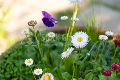 Beautiful pot of daisy flowers