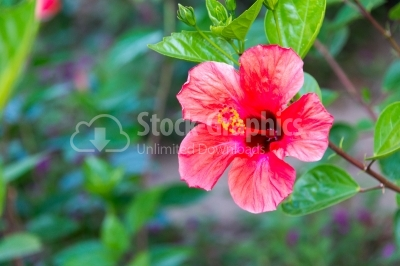Blossomed red hibiscus