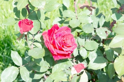 Blossomed red roses in summer
