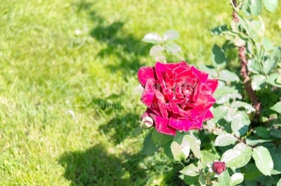 Blossomed, vibrant-coloured single rose