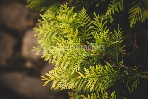 Branches of a coniferous tree