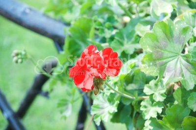 Bright red geranium flowers on a background of green.