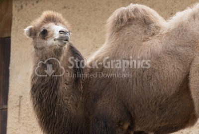 Brown camel with two humps