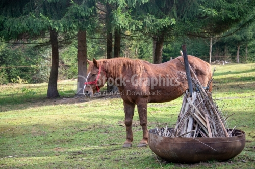 Brown horse standing on a glade in pine wood