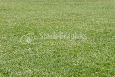 Cultivated healthy green grass
