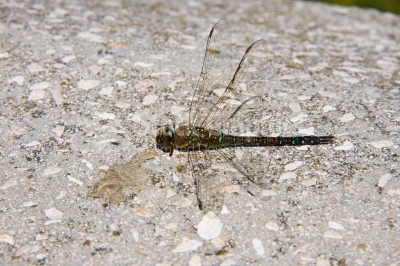 Dead dragonfly sitting on a wall