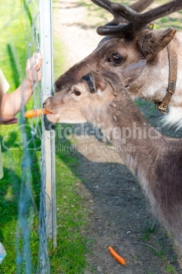Deer eating carrots