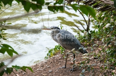 European Grey Heron