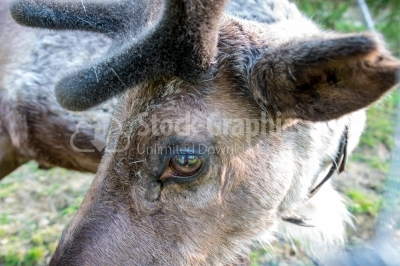 Eye of a deer