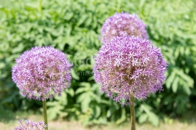 Flower heads of Allium Giganteum