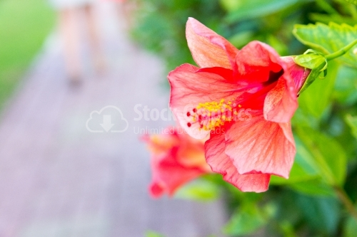 Fragility of hibiscus plant