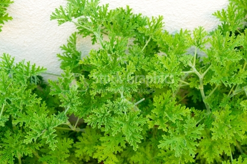 Frehness of herbs in summer