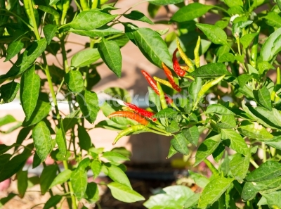 Fresh red chilli in the garden