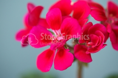 Geranium (Scientific name: Pelargonium)