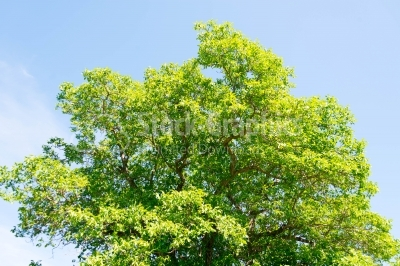 Green tree on summer