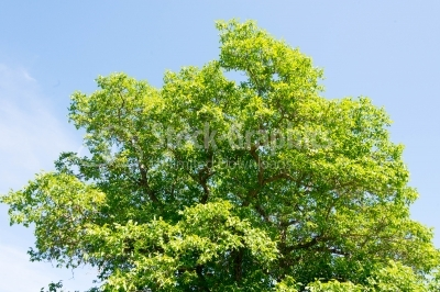 Green tree on summer season