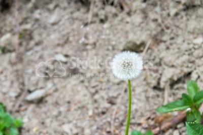 Image focused on a dandelion