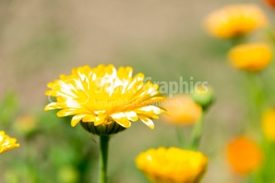 Marigold flower in sun