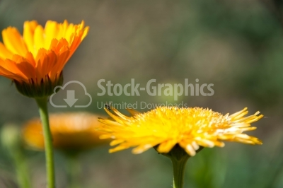 Marigold flowers close-up