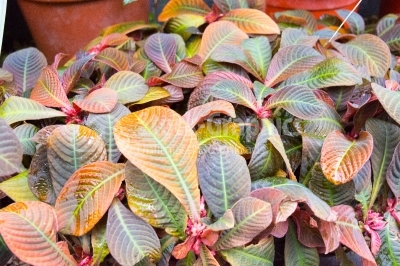 Multi-coloured leaves