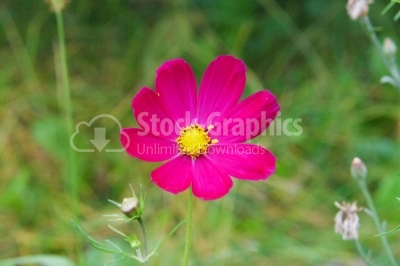 Pink cosmos flower family fompositae, cosmos flower in field