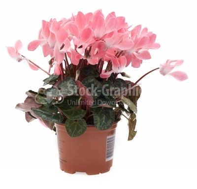 Pink cyclamen in flowerpot isolated on white