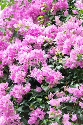 Pink rhododendron in the garden in springtime