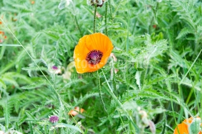 Poppy flower in a green environment