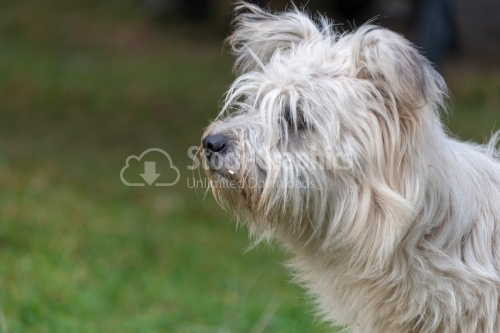 Portrait of a West Highland White Terrier
