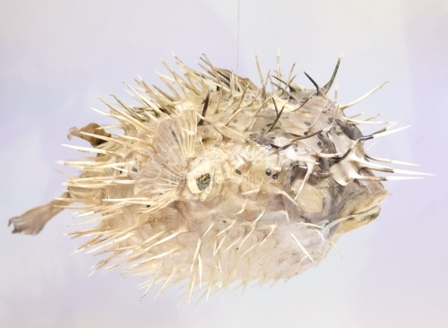 Profile of a porcupine fish