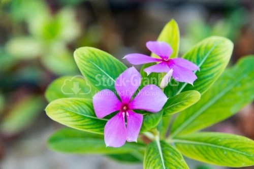 Purple blooming Madagascar Rosy Periwinkle flower