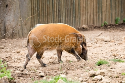 Red River Hog Searching for Food