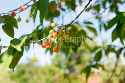 Ripe and unripe cherries in summer