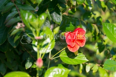 Sideways view of red hibiscus flower