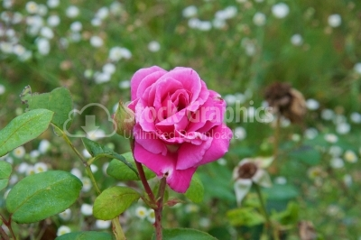 Simple pink rose in the garden