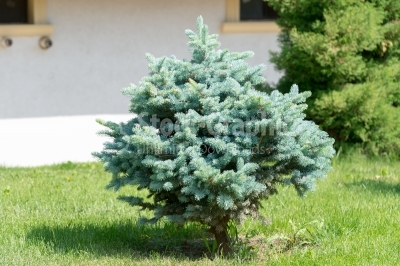 Single fir tree in the middle of the garden