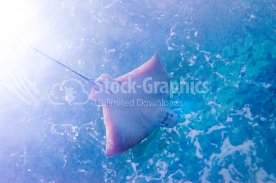Stingray swimming in deep water