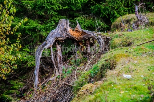 Tree stump ,tree root in the forest photographed in natural ligh