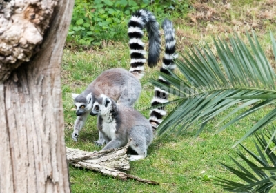 Two lemurs sitting