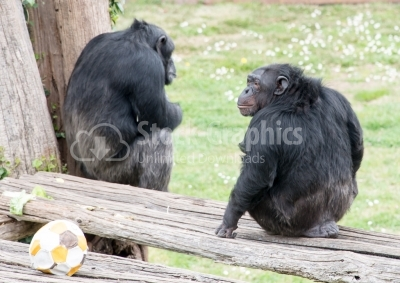 Two mountain gorillas