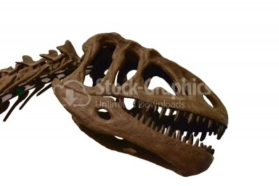 Tyrannosaurus Rex skeleton on white isolated background